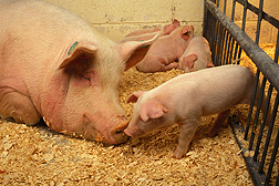 A sow and her piglets: Click here for full photo caption.