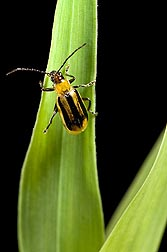Adult female western corn rootworm, Diabrotica virgifera, on a corn leaf: Click here for photo caption.