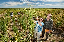 ARS plant geneticist Shannon Pinson and AgriLife plant physiologist Lee Tarpley (foreground), and technicians Richard Chase and Jerri Daniel (background) examine diverse rice lines found to have high concentrations of specific minerals in their grain: Click here for photo caption.