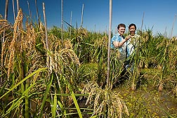 ARS geneticist Shannon Pinson (left) and AgriLife technician Yao Zhou inspect rice plants in a flooded rice field at the research center: Click here for full photo caption.