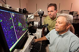 ARS physiologist and professor of pediatrics Doug Burrin (left) and associate professor of pediatrics Darryl Hadsell examine a microscope image of pancreatic beta cells obtained from piglets fed by total parenteral nutrition: Click here for full photo caption.