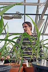 Visiting scientist Ivan Hiltpold examines corn plants for damage from western corn rootworm in a greenhouse at ARS's Plant Genetics Research Unit in Columbia, Missouri: Click here for photo caption.