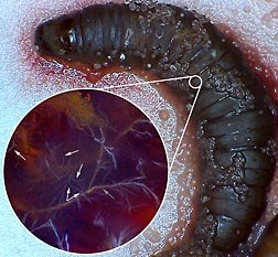 "A cadaver of a waxworm larva (right) serves as a host ""factory"" for nematodes feeding within it. Inset: A microscopic view of the thread-like nematodes (white arrows point to several; the gray arrow points to a nerve of the insect host) inside the cadaver: Click here for full photo caption."