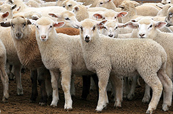 Sheep throughout the world are susceptible to ovine progressive pneumonia, a slow-acting, wasting disease: Click here for full photo caption.