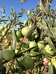 Fully mature olives growing in a California orchard: Click here for full photo caption.