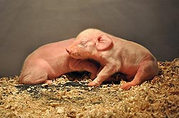 Photo:  Two one-hour old piglets. Link to photo information