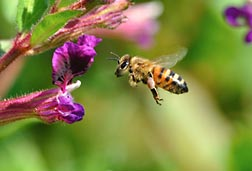 Photo: Honey bee flying to cuphea flower. Link to photo information