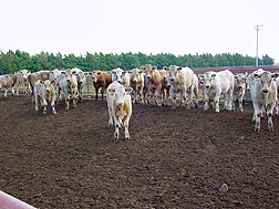Photo: Herd of cows in a feedlot. Link to photo information
