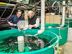 ARS fish physiologist Brian Shepherd and animal caretaker Timothy Paul select yellow perch from a tank for traits desired in breeding: Click here for photo caption.