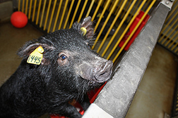 The effect of diet is being evaluated in Ossabaw pigs at an ARS animal facility in Beltsville, Maryland: Click here for full photo caption.