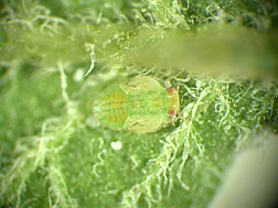Photo: Potato psyllid. Link to photo information