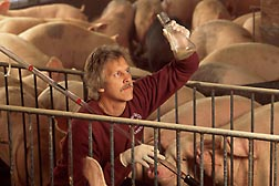Photo: Microbiologists Terry Whitehead checks a manure sample from a pig. Link to photo information