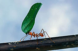 A foraging worker leaf-cutting ant. Click here for full photo caption.