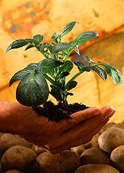 Photo: A potato plant being held in a person's hand. Link to photo information