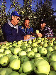 Checking harvested Green Delicious apples