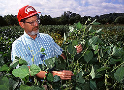 Tom Devine inspects giant soybean cultivars