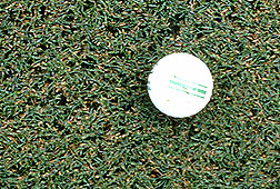 Tifdwarf bermudagrass