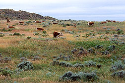 Grassland with grazing cattle. Link to photo information