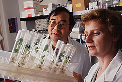 Plant physiologist Katrina Cornish and associate Christopher Mau examine guayule plantlets that they have genetically engineered.