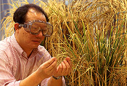Cornell research associate Zhiqiang Cheng in a rice field. Click here for full photo caption.