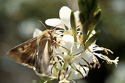A corn earworm moth sips nectar from a night-blooming Gaura plant. Click here for full photo caption.