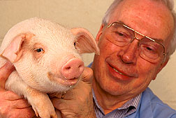 Lawrence Johnson displays a pig born as a result of studies using sorted sperm and in vitro fertilization