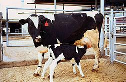 Heifer calf.