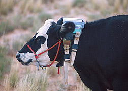"Cow wears prototype ""virtual fence"": Link to photo information"
