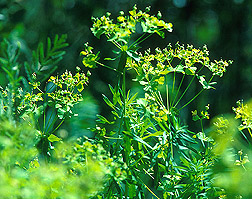 Leafy spurge. Click the image for additional information about it.