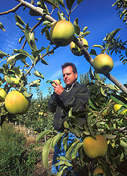 Entomologist examines apple for codling moth damage: Click here for full photo caption.