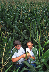 Two entomologists check a corn ear for rootworm damage: Click here for full photo caption.