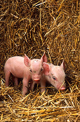 Two newborn piglets: Click here for full photo caption.