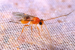 A fruit fly parasitoid: Click here for full photo caption.
