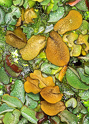 Close up of salvinia mat: Link to photo information