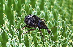 South American weevil: Click here for full photo caption.