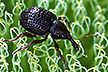 Salvinia weevil: Link to story