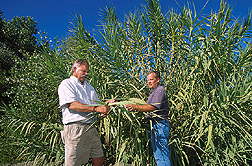 Photo: Ecologist David Spencer (right) and technician Greg Ksander collect an Arundo donax leaf sample. Link to photo information