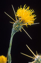 Close-up of yellow starthistle: Click here for full photo caption.