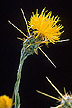 Close-up of yellow starthistle