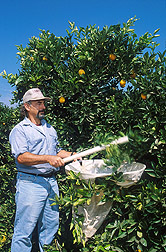 Entomologist beats an orange tree: Click here for full photo caption.