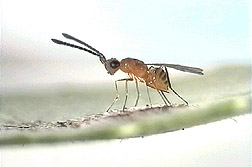 Photo: This parasitic wasp lays its eggs in glassy-winged sharpshooter eggs. Link to photo information