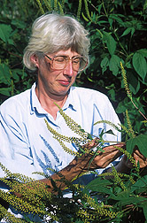Mycologist examines giant ragweed: Click here for full photo caption.