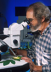 Mycologist uses microscope to look at leaves of giant ragweed: Click here for full photo caption.