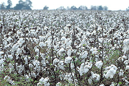 Cotton crop: Click here for full photo caption.