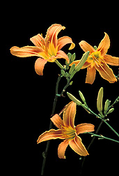 Photo: Beautiful daylilies like these are a perennial favorite in American gardens. Link to photo information