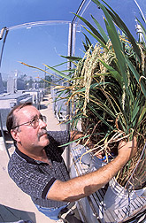 Plant physiologist inspects rice plants: Click here for full photo caption.