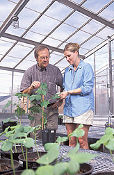 Plant physiologist and technician inspect a cotton plant: Click here for full photo caption.