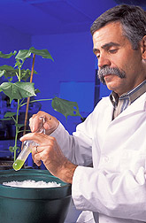 Plant physiologist prepares an extract from a cotton leaf: Click here for full photo caption.