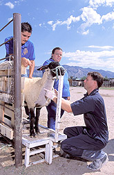 Veterinarian draws blood from sheep: Click here for full photo caption.