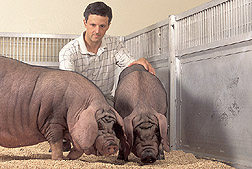 Geneticist examines Meishan pigs: Click here for full photo caption.